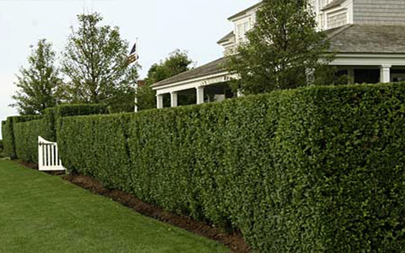 Trees, hedges and privacy plants in the garden