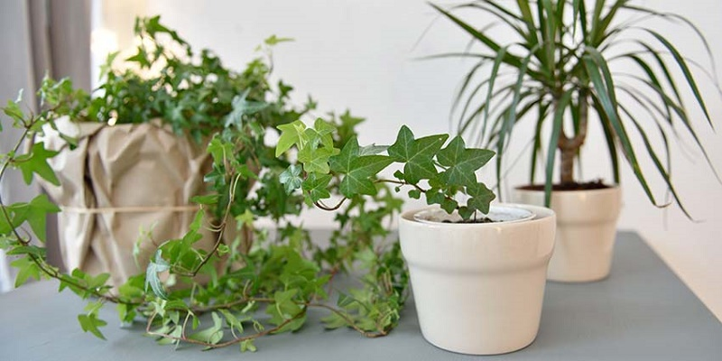 How to care for an ivy plant? Full guideline
