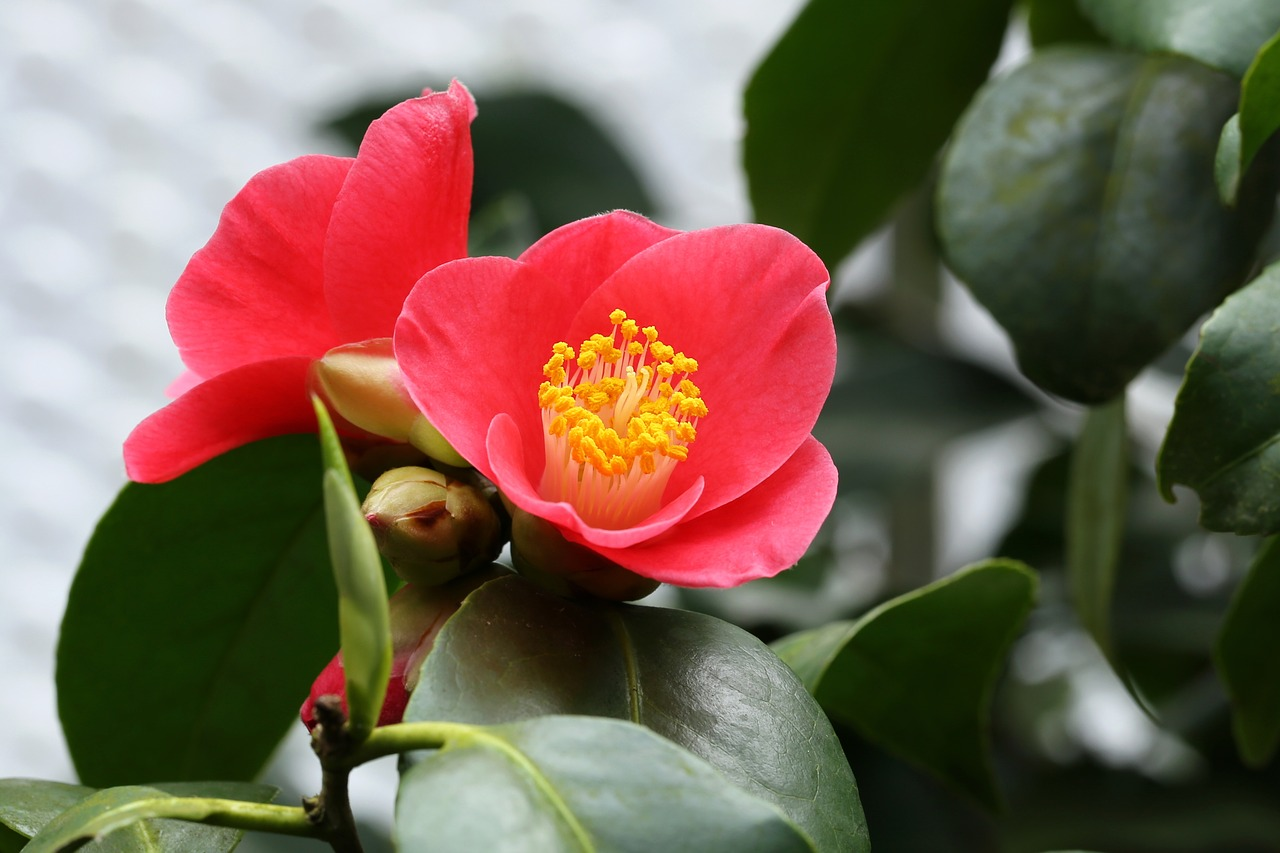 How to care for camellia