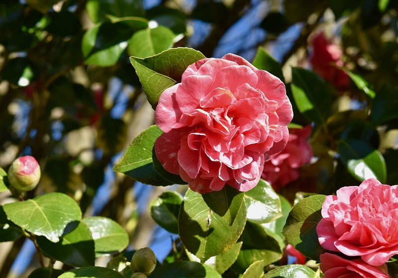 How to care for camellia? Step by step guideline