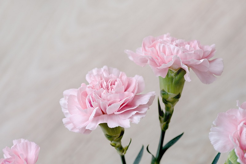 How to care for carnations of the air
