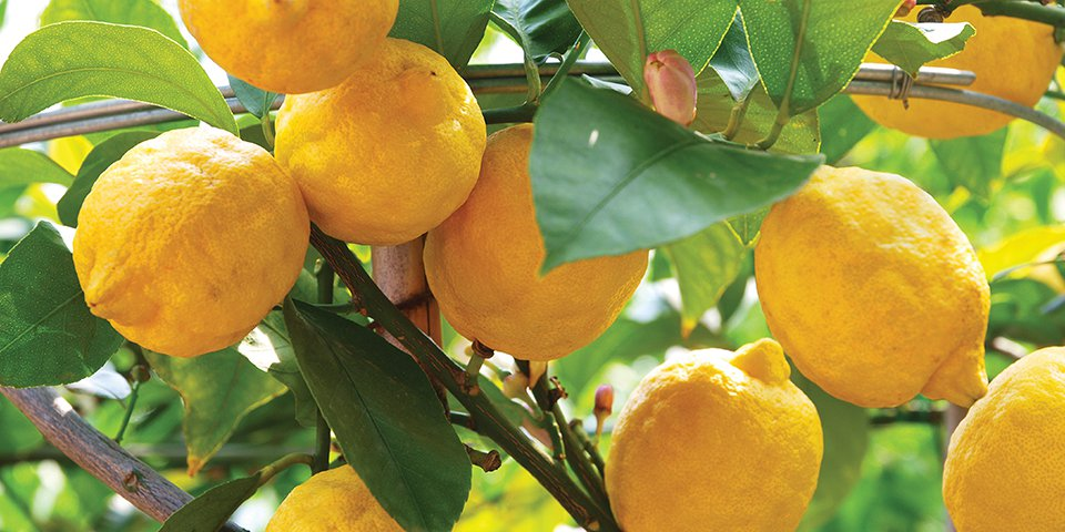 How to graft a lemon tree