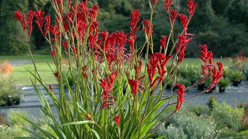 How to grow Kangaroo paw plant