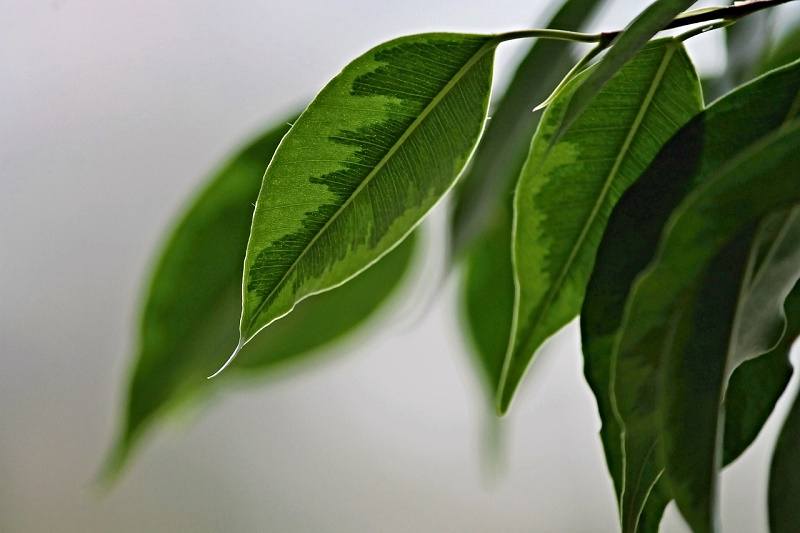 Ficus benjamina care: How to do it step by step