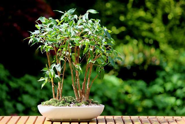 ficus benjamina leaves