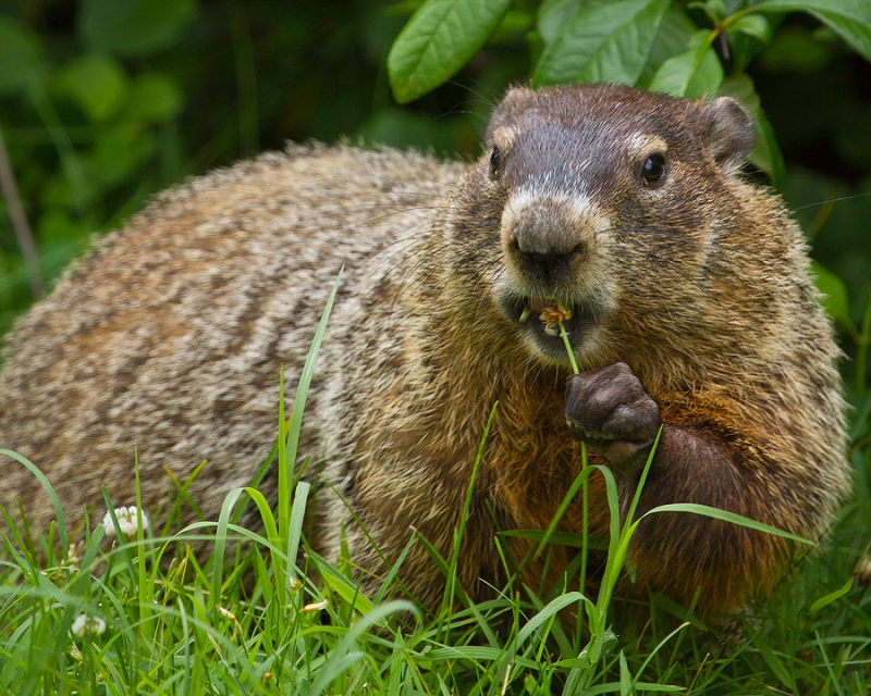 How to get rid of groundhogs by home remedies