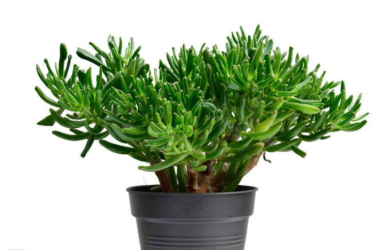 Types of jade plants, for plant beside house