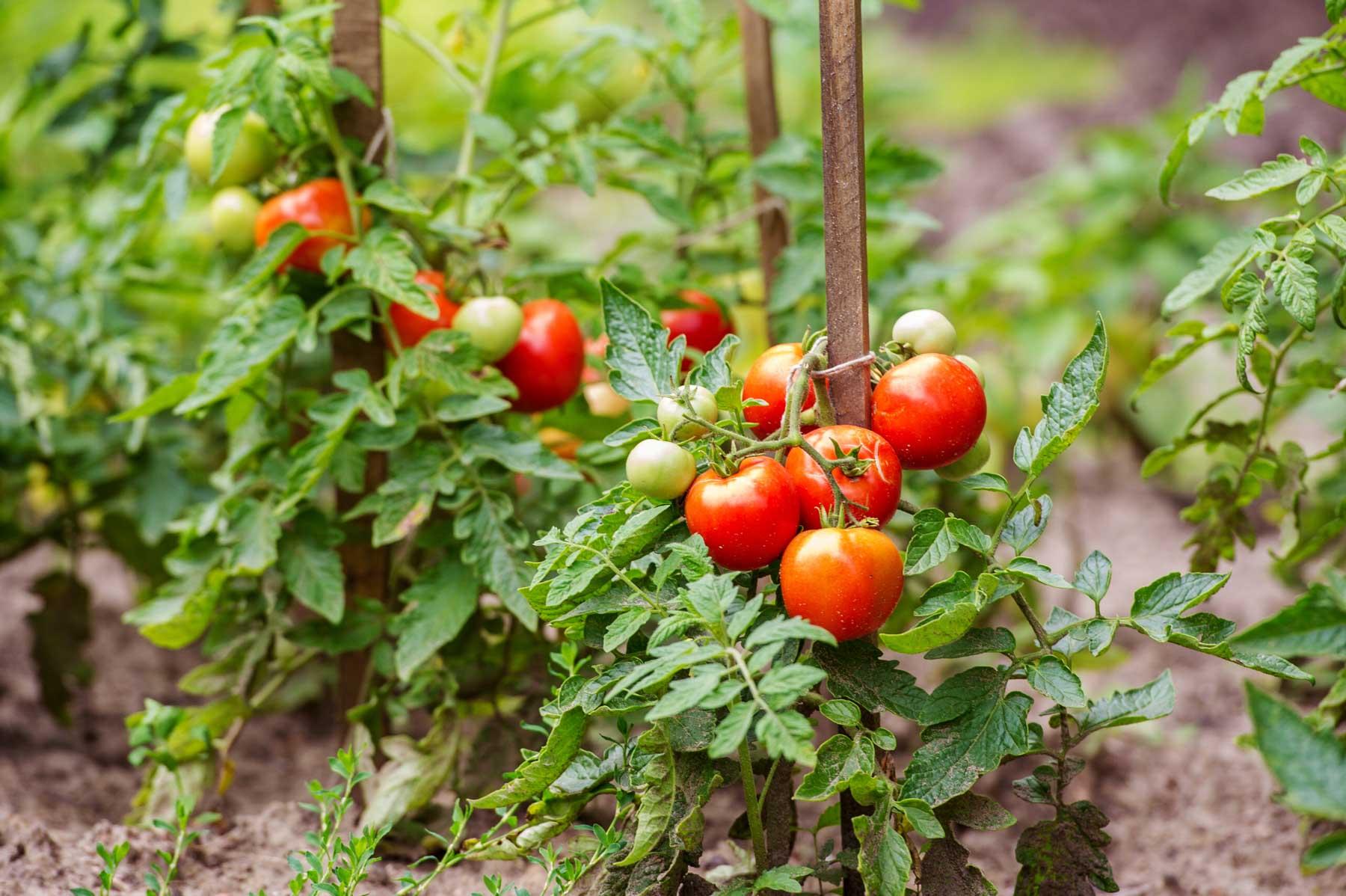 tomato plant care