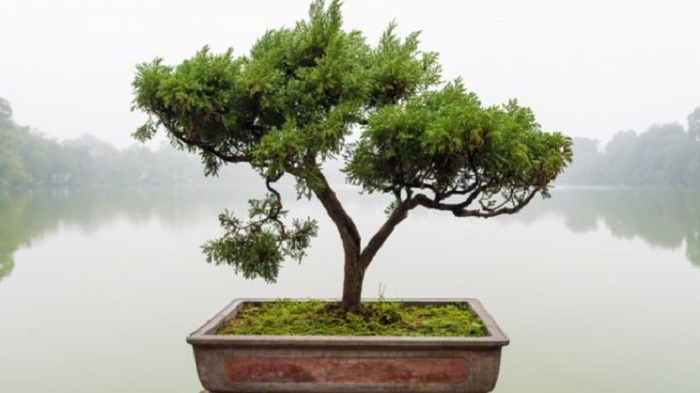 How to care for a bonsai tree? Tips from professional
