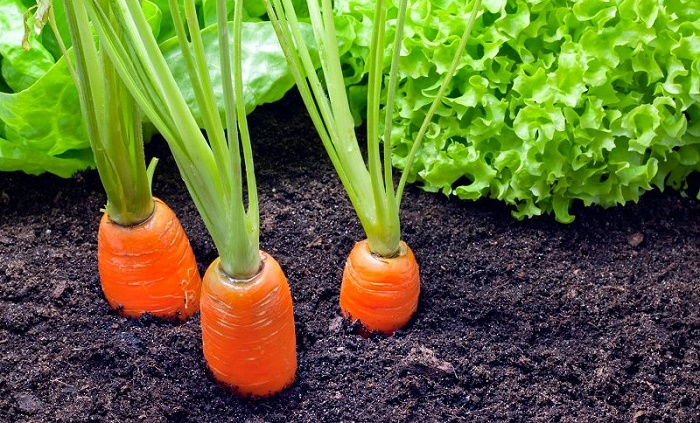 How to plant carrots in your small garden