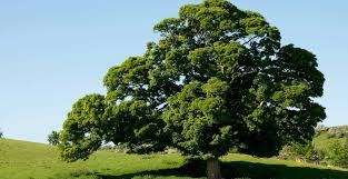 The strength of the oak tree.